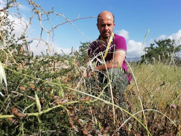 Farmer Giovanni Mureddu poses in front of the locusts that destroyed his crops in the town of Bolotana in central Sardinia, Italy, in June. | Photo provided by Coldiretti Sardinia