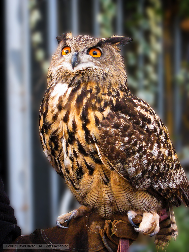 Image result for long eared owl