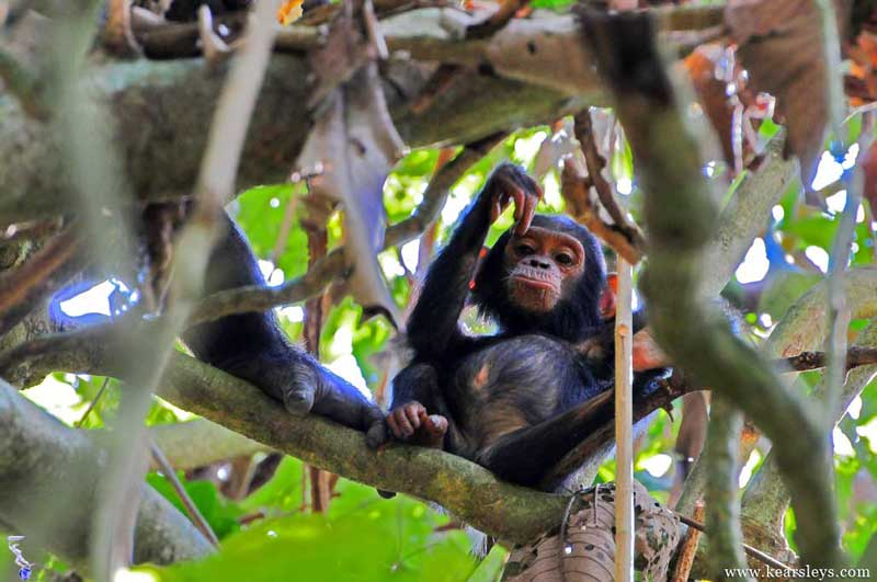 chimp in malahe tanzania