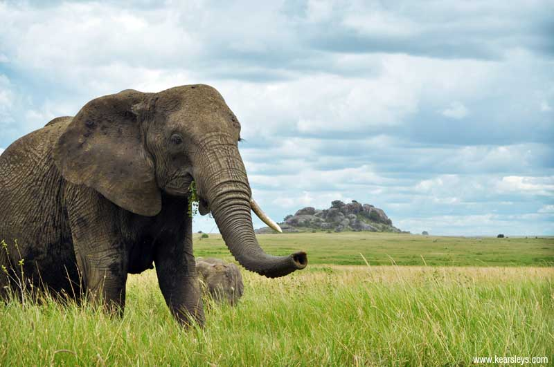 elephant in serengeti