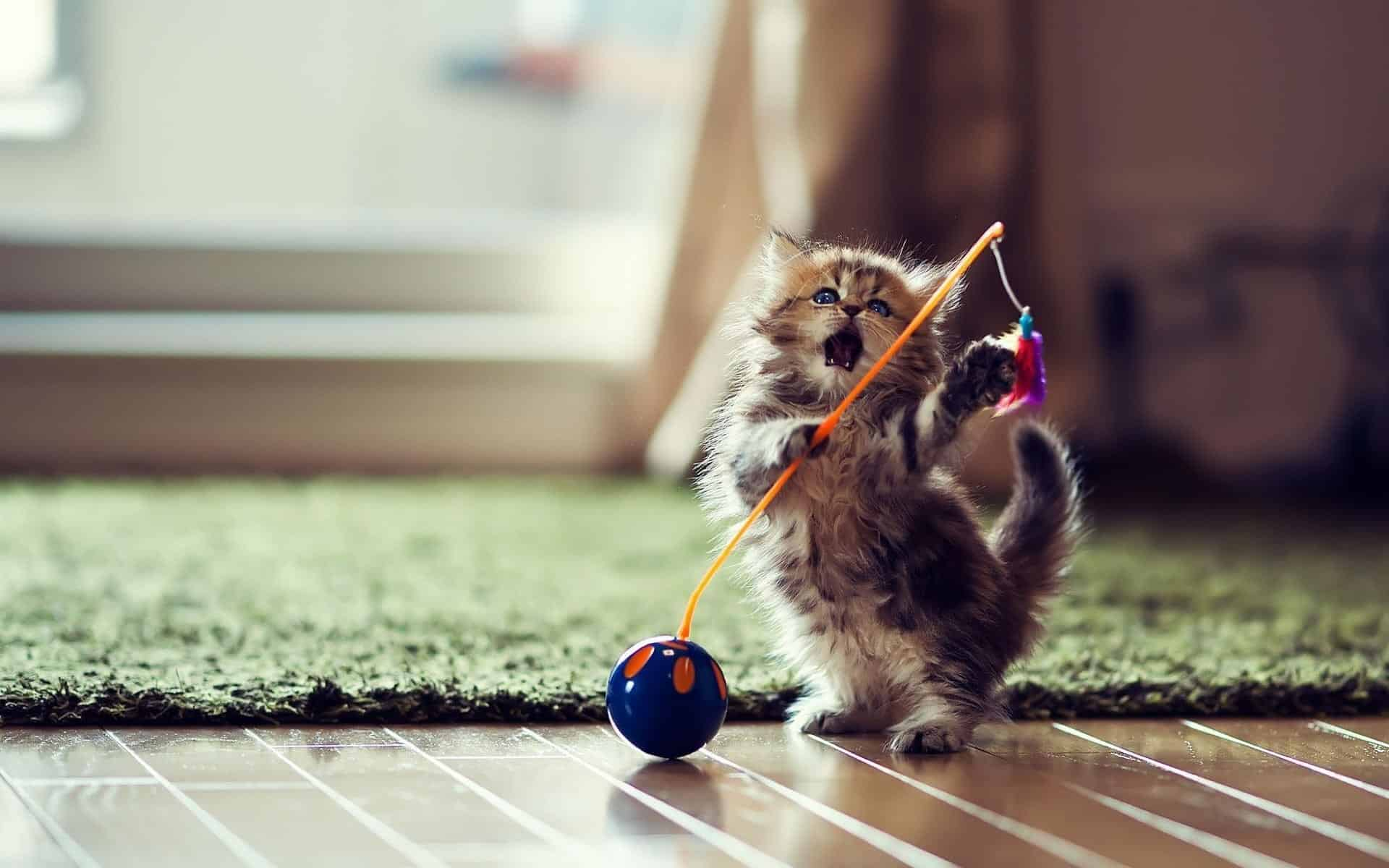 Fluffy kitten plays cat toys