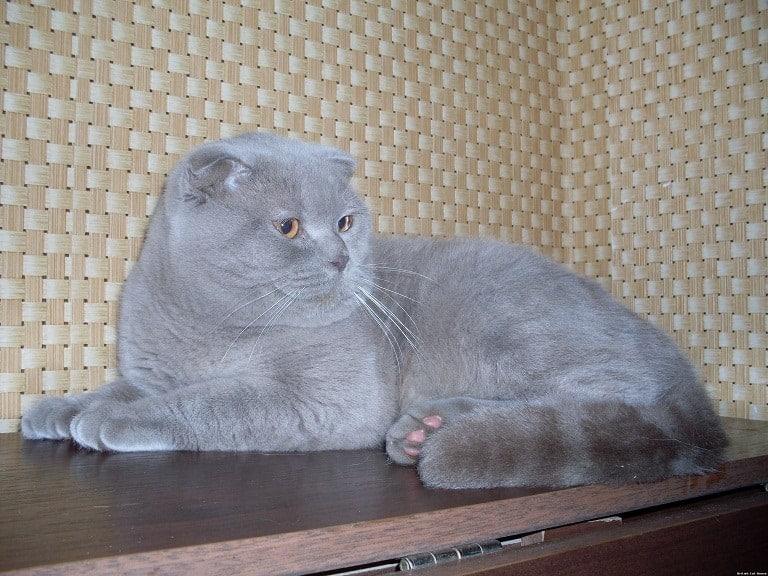 iskocya kedisi