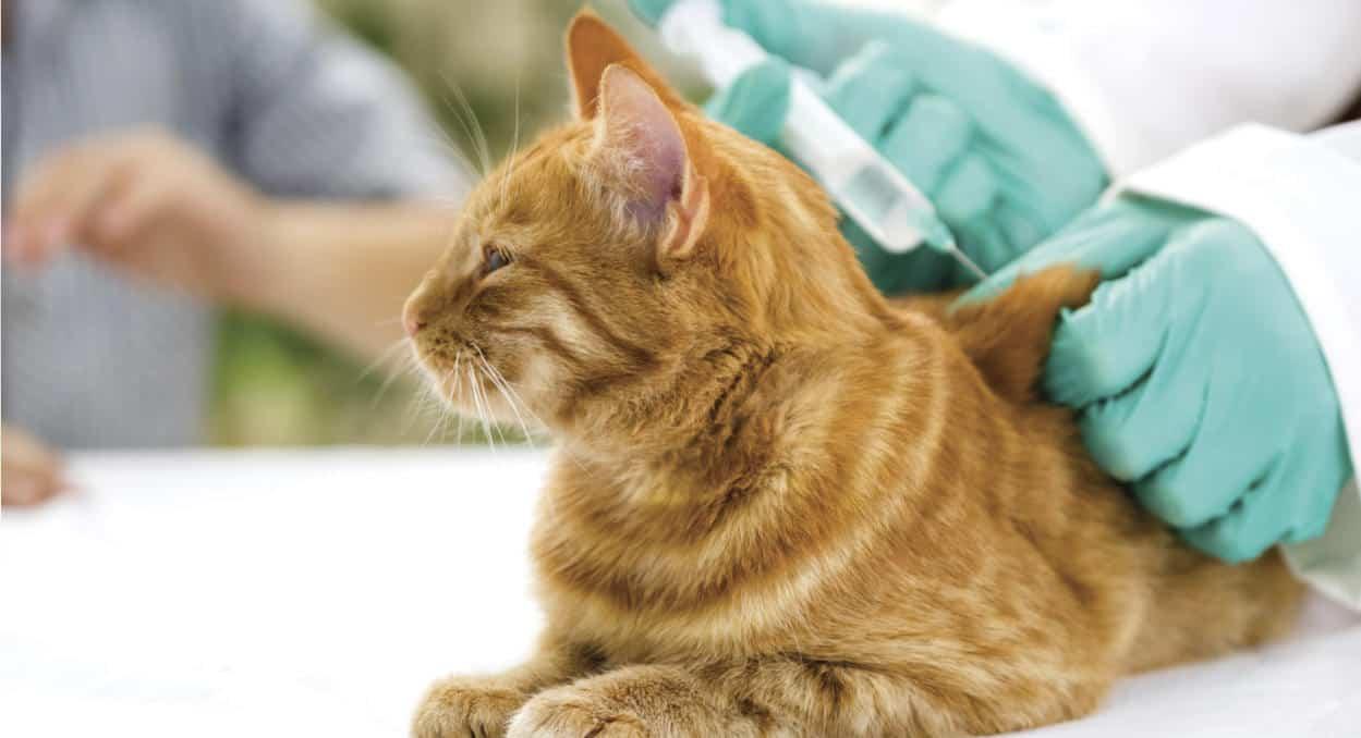 kedi aşısı