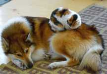cute-cats-sleeping-on-dogs-29__605