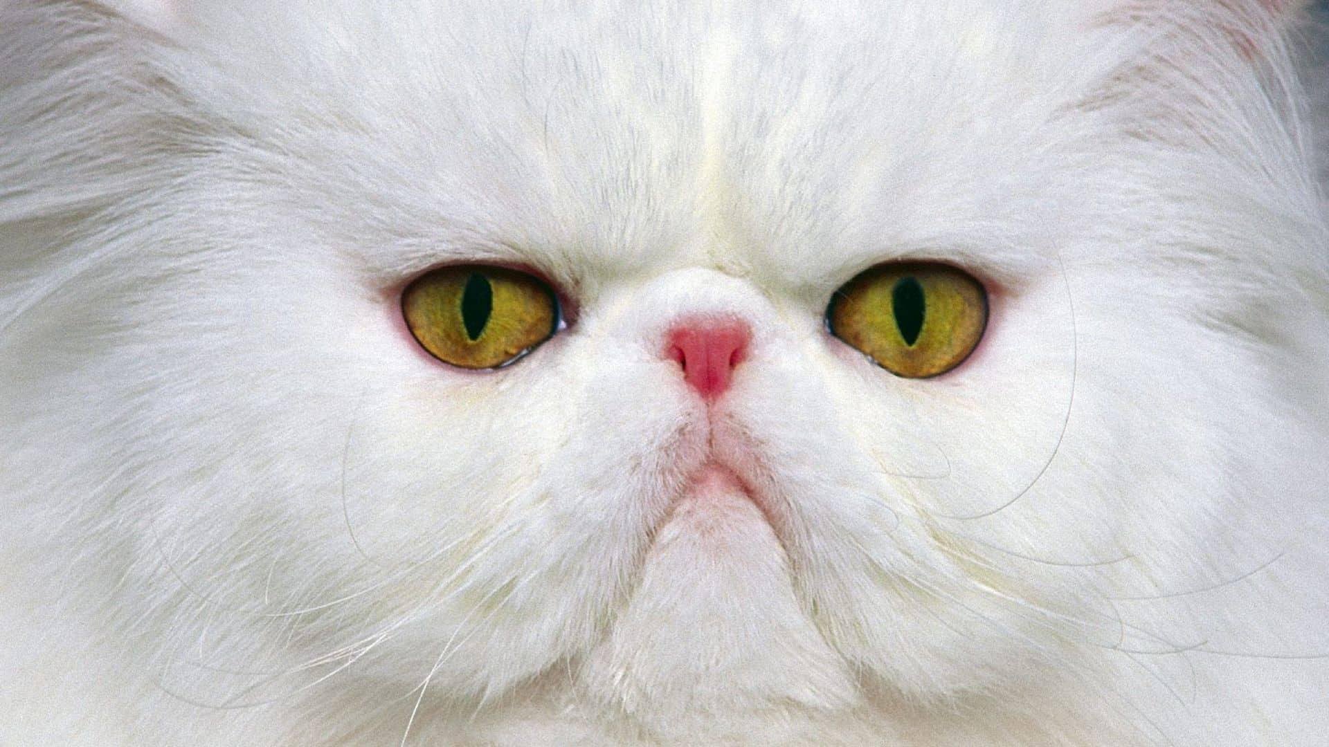 kedilerde yüz felci