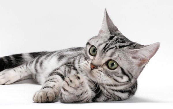 American Shorthair Hakkında Bilgiler!