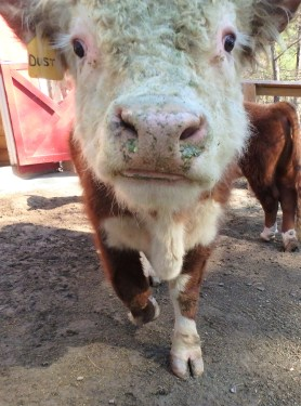 Dusty, a Miniature Hereford Bull
