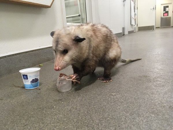 "Romeo Opossum with a mous frozen in water ""Mousicle"""