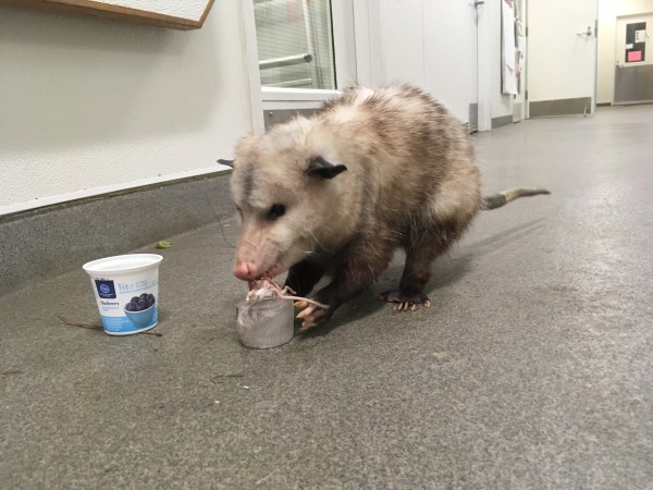"Romeo Opossum takes his first bite of the ""Mousicle"""