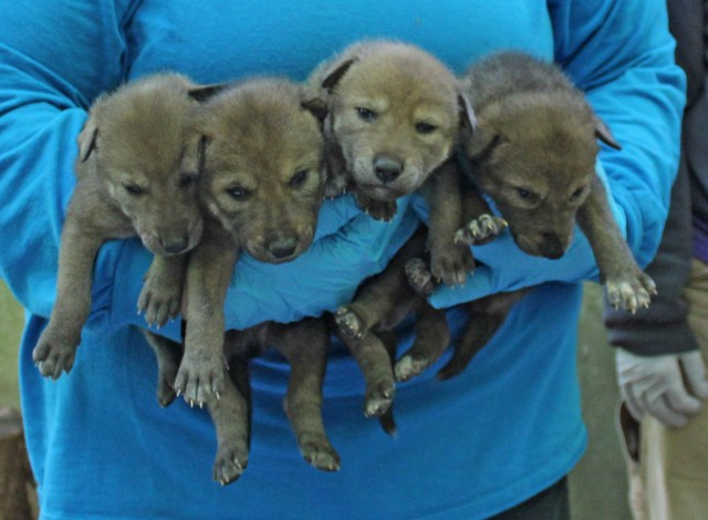 4 red wolf pups being held