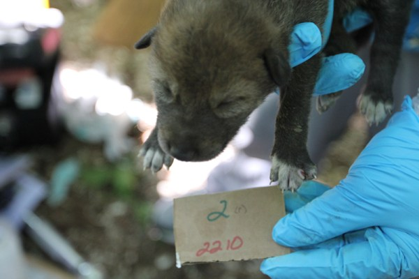 red wolf pup #2