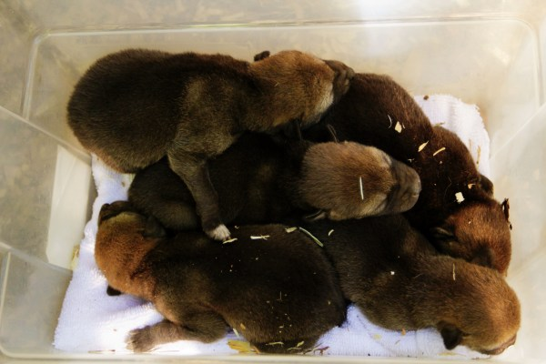 five red wolf pups in a container