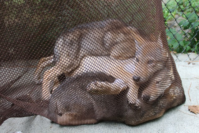 4 red wolf pups in net