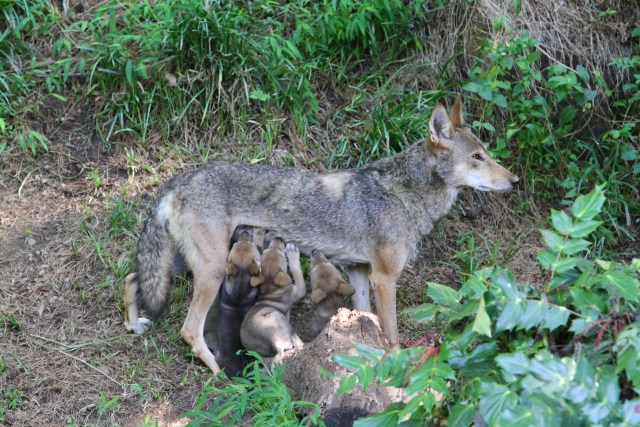 3 red wolf pups nurse standing up