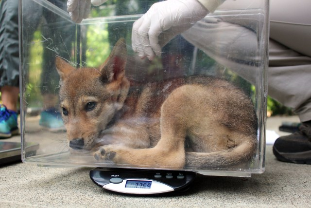 red wolf pup getting weighed