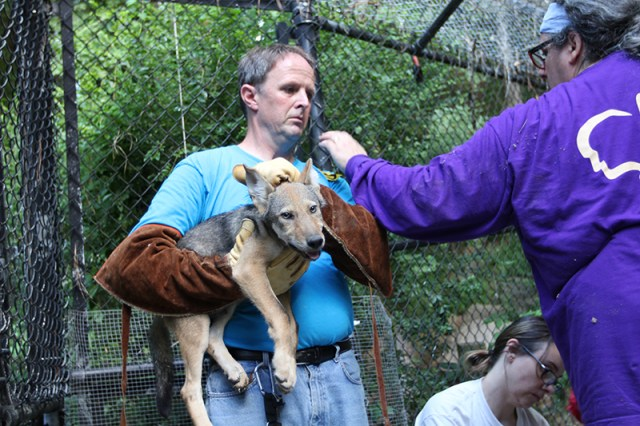 Keeper holds red wolf pup