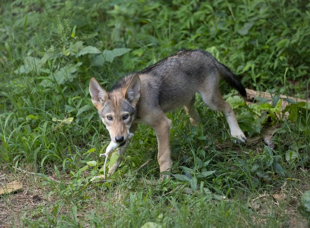 red wolf pup with rat in mouth