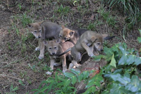 4 red wolf puppies
