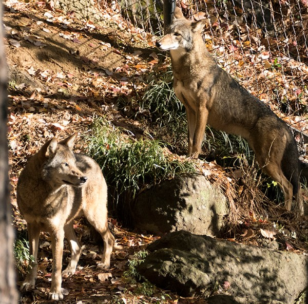 two red wolves
