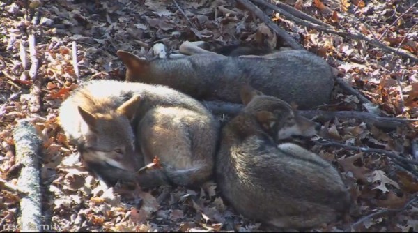 3 red wolves resting