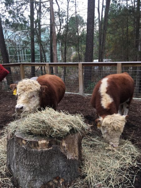 2 miniature Hereford cattle