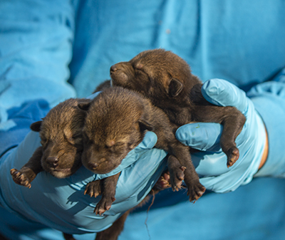 3 newborn red wolf pups in hands