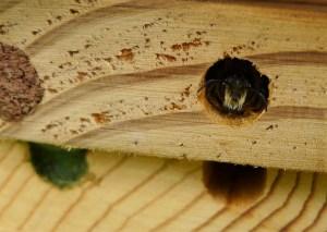 6 amazing facts about mason bees keeping backyard bees