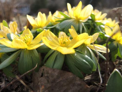 Winter Aconite in full bloom
