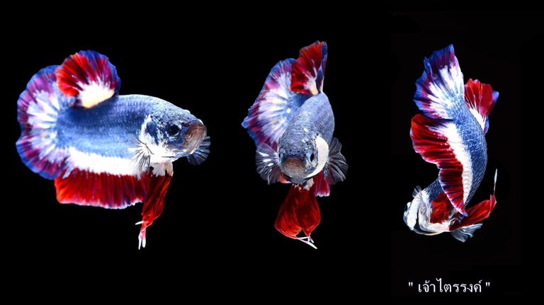 Most expensive betta in the world, sold by Worachai Kachen, who sold this Betta fish for over $1500 USD.