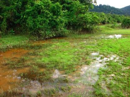 The natural habitat of the betta imbellis.