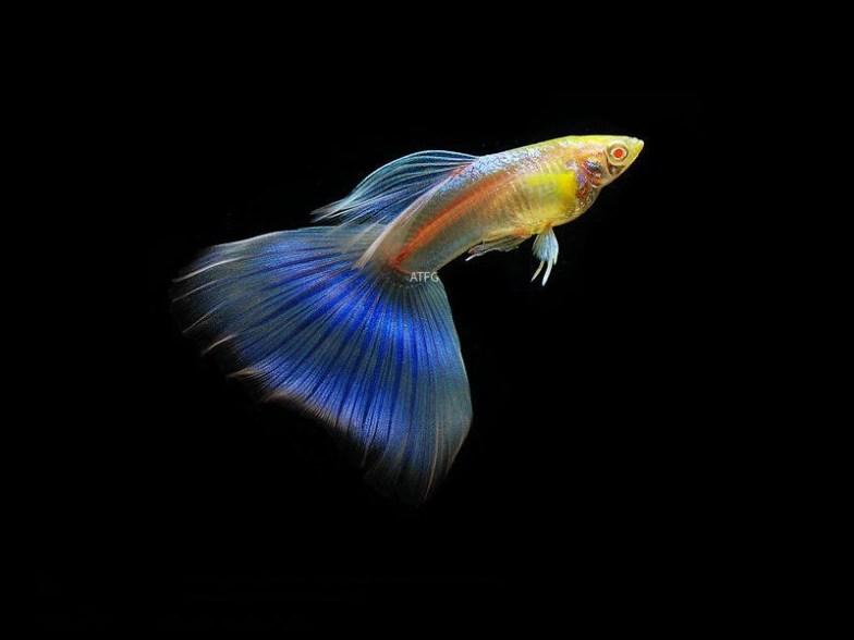 Blue tail albino guppy