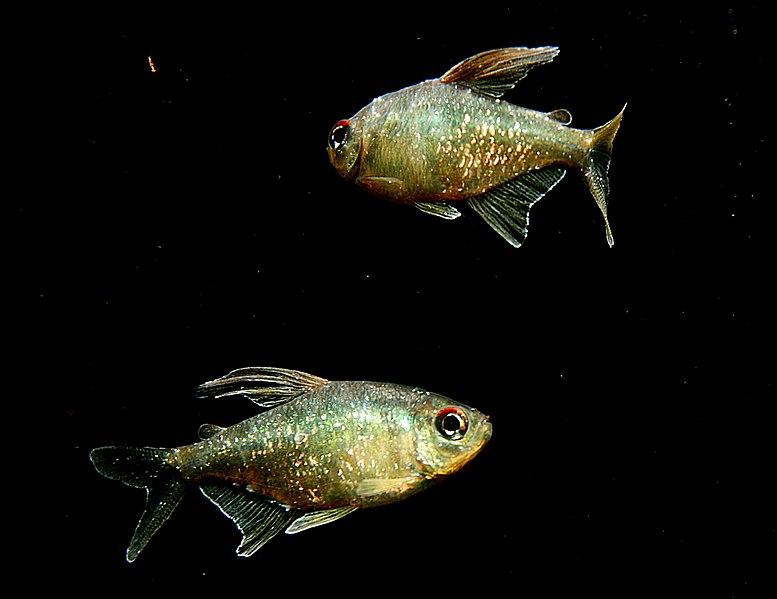 Two Male Moenkhausia pittieri.