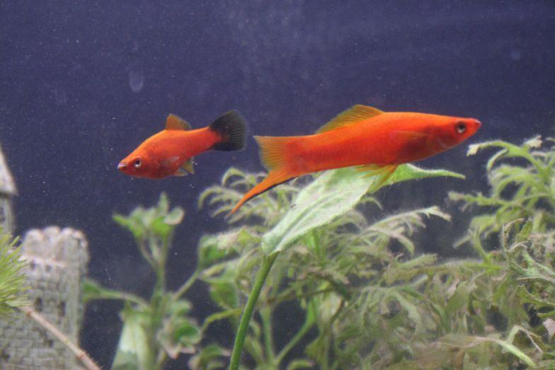 A swordtail and Molly in an aquarium.