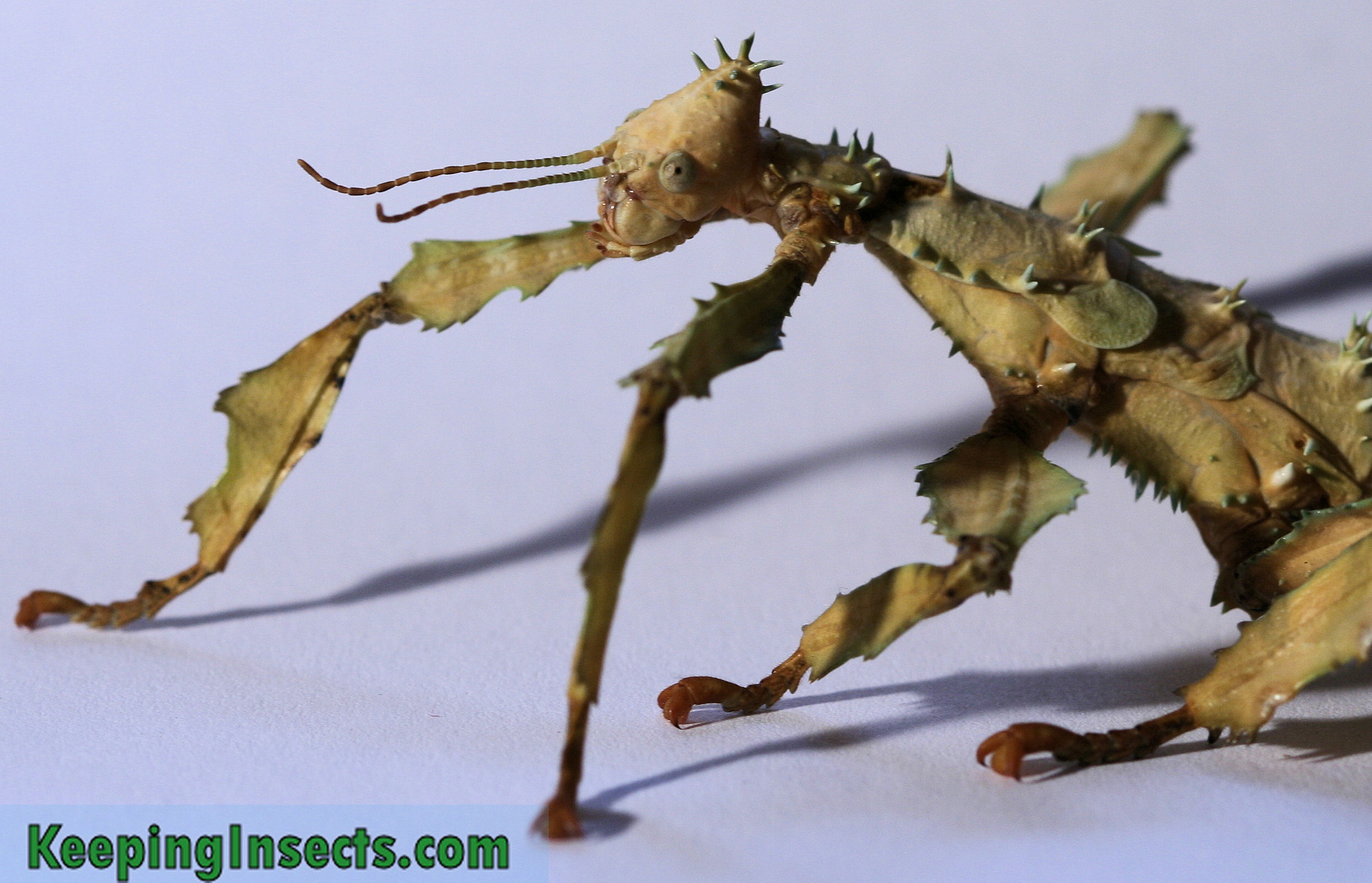 General Stick Insect Info Keeping Insects