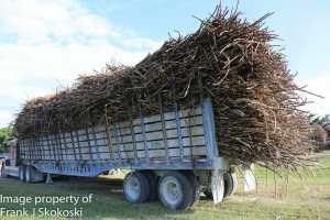 sugar cane (2 of 11)