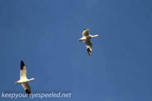 middle creek snow geese (15 of 15)