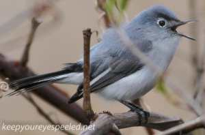 PPL Wetland blue gray gnatcatcher5 (1 of 1)
