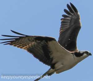 PPL wetlands osprey  2 april 28 2015 (1 of 1)