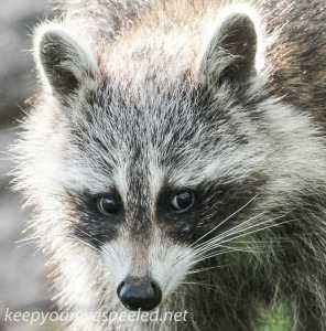 raccoon 14 (1 of 1)