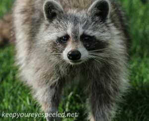 raccoon 2 (1 of 1)