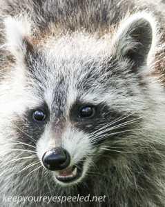 raccoon 22 (1 of 1)