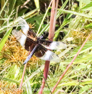 PPL Wetlands dragonfly (1 of 1)