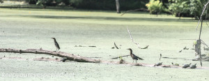 PPL Wetlands green herons (1 of 1)