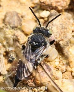 Mushroom walk wasp (1 of 1)