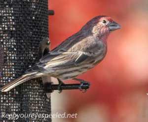 back yard birds finch 121 (1 of 1)