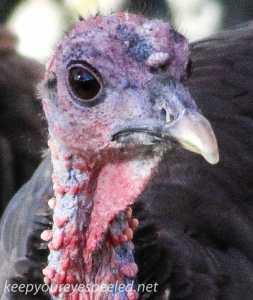 back yard birds turkey 141 (1 of 1)