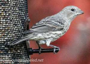Fall walk birds house finch - (1 of 1)