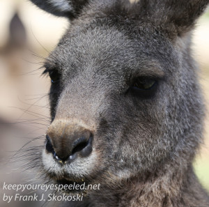 Bonorong kangaroo-31