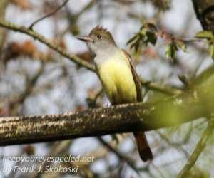 Great crested flycatcher green ridge -14