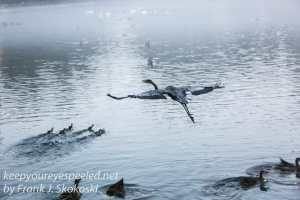 Blue Heron -21